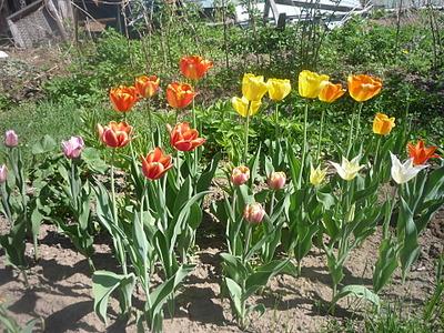 1920 X 1440 489.1 Kb 979 X 734 520.8 Kb 979 X 734 525.7 Kb Тюльпаны, нарциссы, ирисы, крокусы - все весенние луковичные