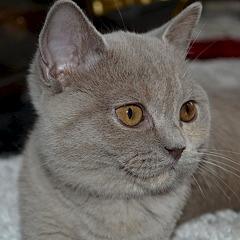 1920 X 1920 749.3 Kb Питомник британских кошек Cherry Berry's