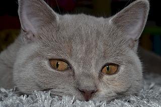 1920 X 1280 596.2 Kb Питомник британских кошек Cherry Berry's