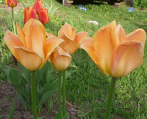 808 X 649 340.9 Kb 734 X 942 312.8 Kb Тюльпаны, нарциссы, ирисы, крокусы - все весенние луковичные