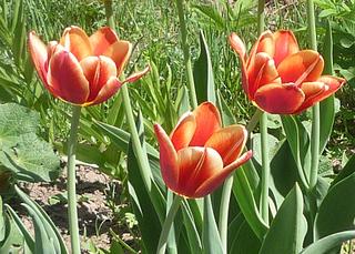 894 X 640 322.7 Kb 797 X 702 274.5 Kb Тюльпаны, нарциссы, ирисы, крокусы - все весенние луковичные