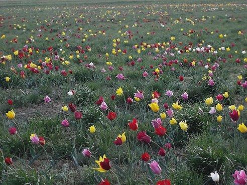 492 x 369 Тюльпаны, нарциссы, ирисы, крокусы - все весенние луковичные