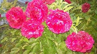 604 X 340 75.7 Kb 604 X 340 39.6 Kb 604 X 340 51.1 Kb Саженцы роз, флоксов, хризантем, дельфиниумов и других многолетников от 60 руб.