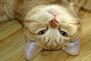 604 X 404  49.4 Kb 604 X 404  61.0 Kb 604 X 404  61.6 Kb 405 X 604  55.3 Kb Британцы Ричард - Чемпион Мира WCF и Лекси Международный чемпион. У нас есть котятки.