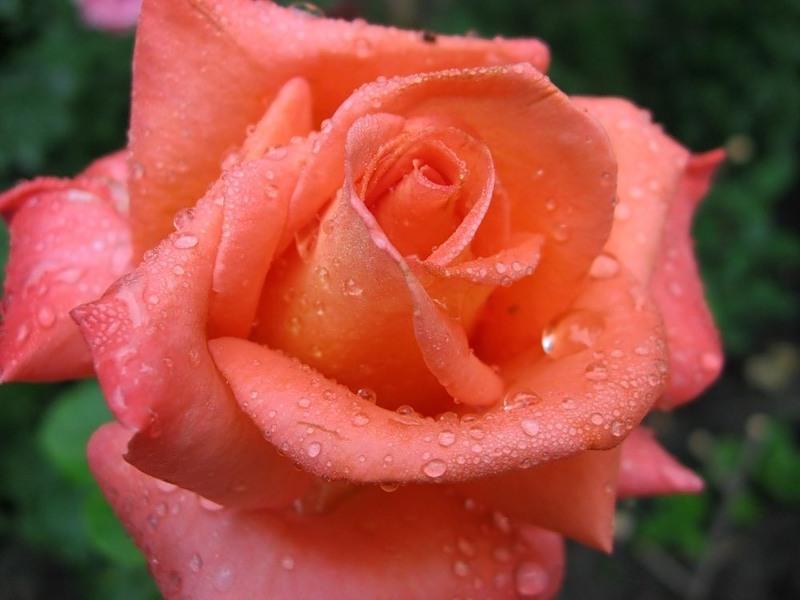 Розы цвета лосося фото