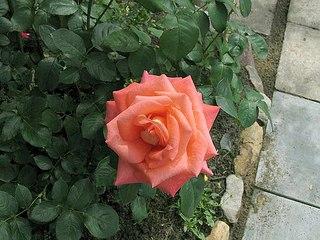 604 X 453 72.5 Kb Саженцы роз, флоксов, хризантем, дельфиниумов и других многолетников от 60 руб.