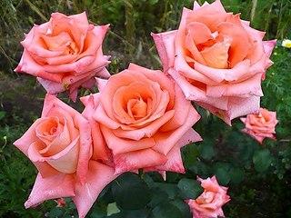 500 X 375 53.6 Kb 604 X 453 72.5 Kb Саженцы роз, флоксов, хризантем, дельфиниумов и других многолетников от 60 руб.