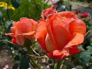 500 X 375 42.8 Kb 500 X 375 53.6 Kb 604 X 453 72.5 Kb Саженцы роз, флоксов, хризантем, дельфиниумов и других многолетников от 60 руб.