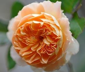 504 X 423 48.1 Kb 636 X 505 55.2 Kb Саженцы роз, флоксов, хризантем, дельфиниумов и других многолетников от 60 руб.