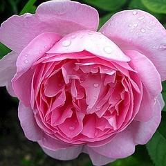 416 X 416 61.4 Kb 504 X 423 48.1 Kb 636 X 505 55.2 Kb Саженцы роз, флоксов, хризантем, дельфиниумов и других многолетников от 60 руб.