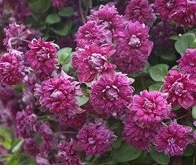 356 X 299 38.7 Kb Саженцы роз, флоксов, хризантем, дельфиниумов и других многолетников от 60 руб.