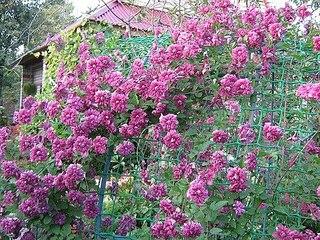 500 X 375 101.5 Kb 356 X 299 38.7 Kb Саженцы роз, флоксов, хризантем, дельфиниумов и других многолетников от 60 руб.