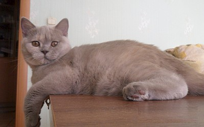 1920 X 1191 299.4 Kb Питомник британских кошек Cherry Berry's