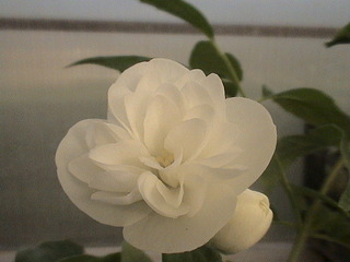 1152 X 864 435.6 Kb Продажа редких растений из питомника 'Мой сад'