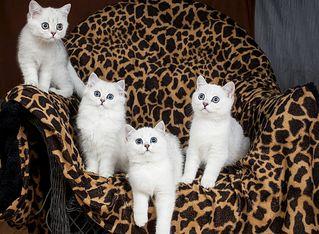 1275 X 936 228.8 Kb Британские котята шиншиллы ищут новый дом