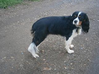 1920 X 1440 664.1 Kb Кавалер-кинг-чарльз-спаниель. Собака, создающая комфорт. Питомник Auroconcurr.