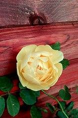 397 X 604 59.5 Kb Саженцы роз, флоксов, хризантем, дельфиниумов и других многолетников от 60 руб.