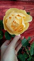 340 X 604 45.6 Kb 397 X 604 59.5 Kb Саженцы роз, флоксов, хризантем, дельфиниумов и других многолетников от 60 руб.