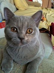 960 X 1280 288.1 Kb Питомник британских кошек Cherry Berry's