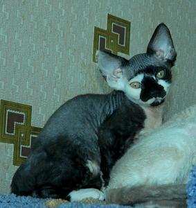 1920 X 2032 695.6 Kb 1920 X 1440 771.6 Kb Девон рекс - эльфы в мире кошек - у нас есть котята