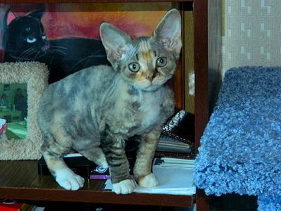 1920 X 1440 638.4 Kb Девон рекс - эльфы в мире кошек - у нас есть котята