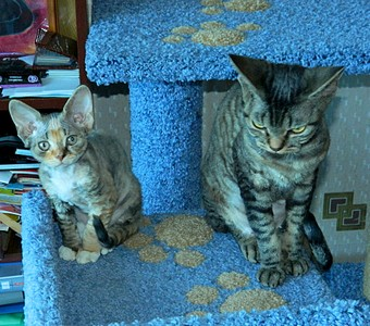 1920 X 1690 726.1 Kb 1920 X 1440 638.4 Kb Девон рекс - эльфы в мире кошек - у нас есть котята