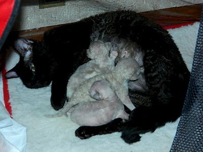 1920 X 1440 510.9 Kb Девон рекс - эльфы в мире кошек - у нас есть котята