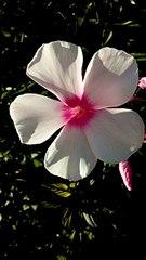 340 X 604 31.8 Kb Саженцы роз, флоксов, хризантем, дельфиниумов и других многолетников от 60 руб.