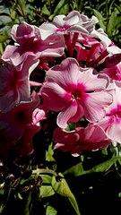 340 X 604 51.3 Kb 340 X 604 31.8 Kb Саженцы роз, флоксов, хризантем, дельфиниумов и других многолетников от 60 руб.