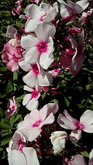 340 X 604 59.0 Kb 340 X 604 51.3 Kb 340 X 604 31.8 Kb Саженцы роз, флоксов, хризантем, дельфиниумов и других многолетников от 60 руб.