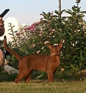 449 X 486 37.0 Kb Веточка для Коржиков.и абиссинских кошек