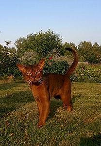 667 X 960 113.1 Kb 449 X 486 37.0 Kb Веточка для Коржиков.и абиссинских кошек