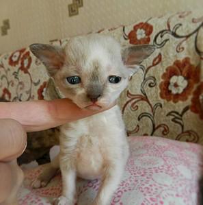 1920 X 1934 460.6 Kb 1920 X 1862 590.6 Kb Девон рекс - эльфы в мире кошек - у нас есть котята