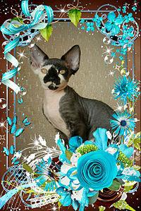 467 X 700 133.1 Kb Девон рекс - эльфы в мире кошек - у нас есть котята