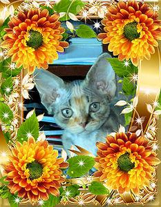622 X 800 171.7 Kb 467 X 700 133.1 Kb Девон рекс - эльфы в мире кошек - у нас есть котята