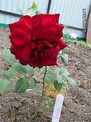 1920 X 2560 451.9 Kb Саженцы роз, флоксов, хризантем, дельфиниумов и других многолетников от 60 руб.