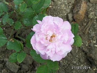 1920 X 1440 490.8 Kb Саженцы роз, флоксов, хризантем, дельфиниумов и других многолетников от 60 руб.