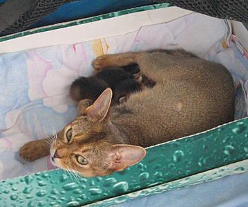 1572 X 1309 487.9 Kb Веточка для Коржиков.и абиссинских кошек