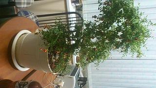 1920 X 1080 556.7 Kb Плодовые комнатные растения