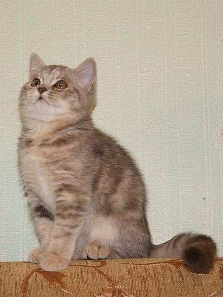 453 X 604  48.1 Kb Питомник британских кошек Cherry Berry's