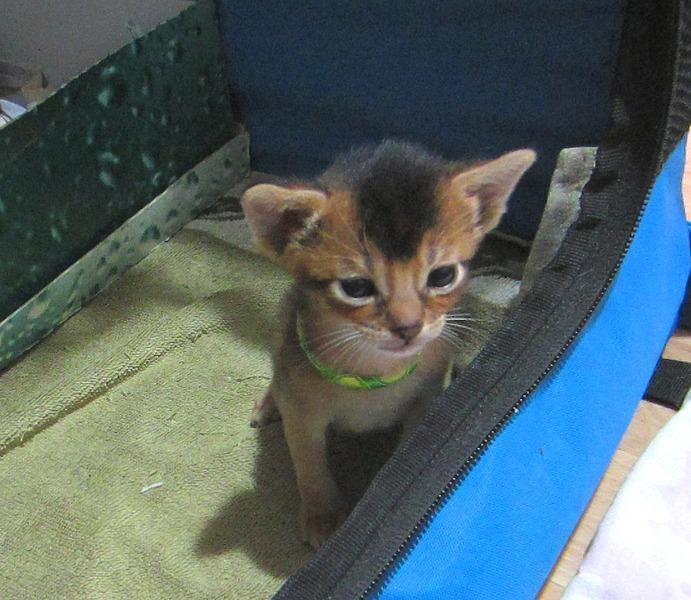 1074 X 932 244.1 Kb 1349 X 1113 263.9 Kb Веточка для Коржиков.и абиссинских кошек