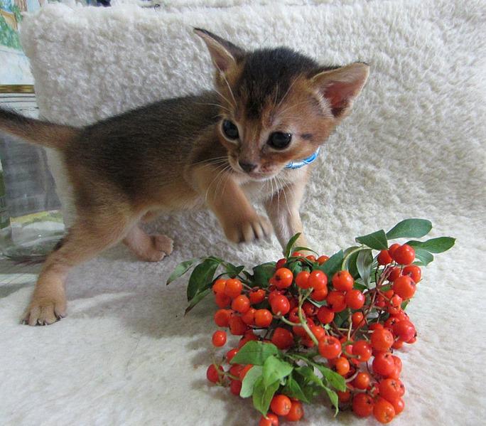 1629 X 1427 505.0 Kb Веточка для Коржиков.и абиссинских кошек
