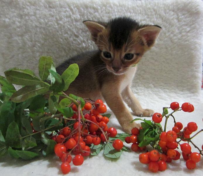 1461 X 1263 355.9 Kb 1629 X 1427 505.0 Kb Веточка для Коржиков.и абиссинских кошек
