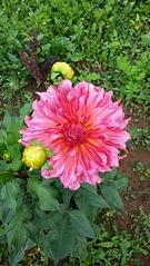1836 X 3264 584.4 Kb Цветы