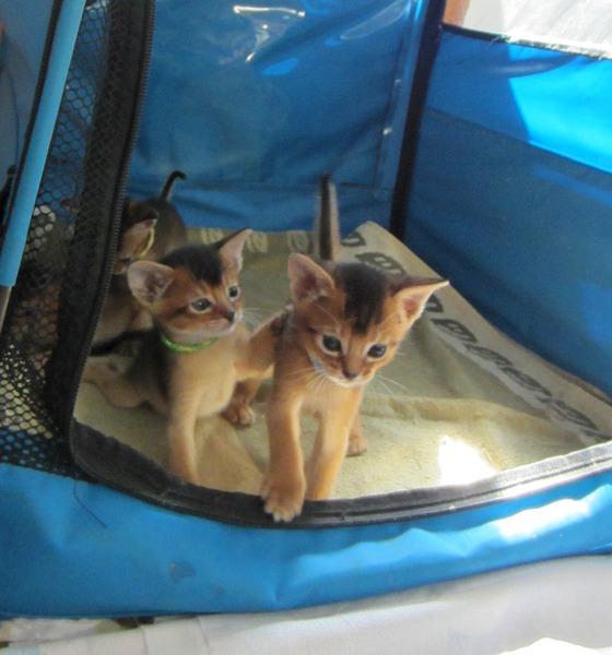 1109 X 1188 224.1 Kb Веточка для Коржиков.и абиссинских кошек