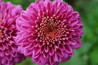604 X 402 59.2 Kb Саженцы роз, флоксов, хризантем, дельфиниумов и других многолетников от 60 руб.