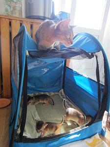 1488 X 1984 598.7 Kb Веточка для Коржиков.и абиссинских кошек