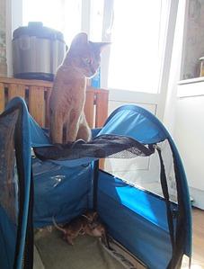 1288 X 1695 337.8 Kb 1488 X 1984 598.7 Kb Веточка для Коржиков.и абиссинских кошек