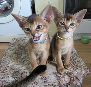 1280 X 1231 368.6 Kb Веточка для Коржиков.и абиссинских кошек