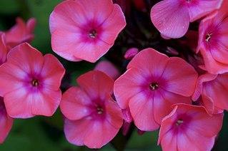 604 X 402 39.4 Kb Саженцы роз, флоксов, хризантем, дельфиниумов и других многолетников от 60 руб.
